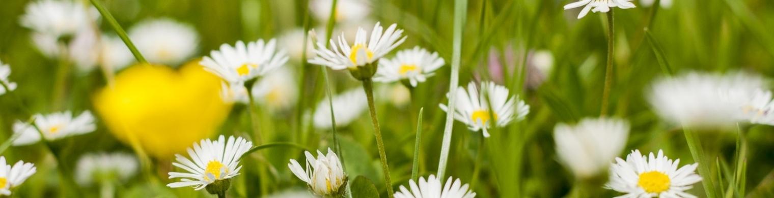 daisies-1549930_1920
